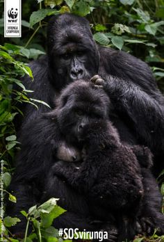Mountain Gorillas of Virunga National Park. Africa's oldest national park which… Gorillas In The Mist, Mountain Gorilla, Orangutan, Primates, Animal Photography, Reptiles, National Parks, Africa, Gorilla Gorilla