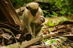 Monkey baby! Cute the gambia