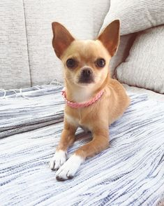 The Cutest Little Chihuahuas Ever 🧡 Cute Dogs And Puppies, Little Puppies, Doggies, Chi Dog, Baby Chihuahua, Dog Quotes, Animal Photography, Best Dogs, Fur Babies