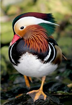 Mandarin duck. by jcorn;Just like the one Mr. & Mrs. Puddleduck bought to our pool one winter:)