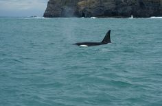 Orca in front of Akaroa, New Zealand