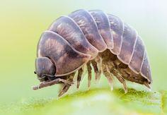 Pillbug