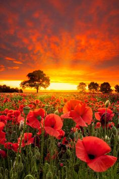 Remembrance Day Beautiful, but heart stoppingly sad, when one thinks of what loss this represents. Landscape Photography, Nature Photography, Poppy Photography, Remembrance Day, Red Poppies, Amazing Nature, Nature Photos, Pretty Pictures, Beautiful Landscapes