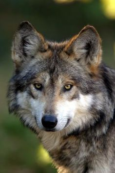 Mexican Wolf - critically endangered.  /Look how beautiful they are, how can people shoot & kill these magnificent animals ??? they will pay in the end, what goes around, comes around EL./