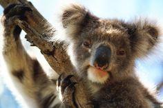 the iconic australian koala bear