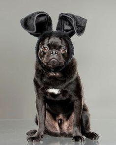 Pug Bunny...
