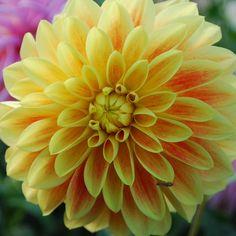 Dahlia 'Garden Festival' - Rose Cottage Plants