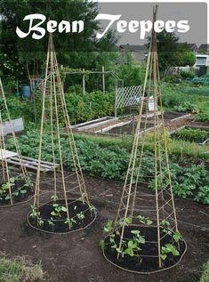 6 Bamboo or Branch Tomato Cages Projects & Videos. Now that's a pretty veggie garden. Veg Garden, Garden Trellis, Edible Garden, Bean Trellis, Pole Beans Trellis, Vegetable Gardening, Diy Trellis, Tomato Trellis, Bamboo Trellis