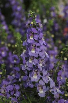 Meet angelonia, the summer snapdragon |  These annuals are so tolerant of heat and drought, and flower so prolifically, that they're destined to be a staple in area landscapes. Even more, angelonias provide something that those begonias, lantanas and portulacas can't — a cool palette of flower colors ranging from white to blue to dark violet. These hues make gardens appear a little more tolerable during the worst of the summer.