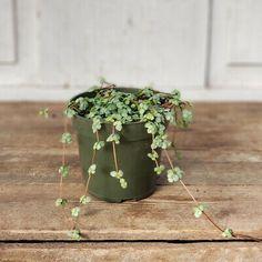 "Pilea 'Aquamarine' | Live Plant 4"" Pot | Pilea glauca | eBay Live Plants, House Plants, Indoor, Interior, Indoor House Plants, Foliage Plants, Houseplants, Apartment Plants"