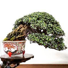 "16 Likes, 1 Comments - Hao Lung (@lung.hao) on Instagram: ""根盤交疊的非常好看。 #盆栽 #盆景 #小品盆栽 #bonsai #shohin_bonsai #Taiwan_bonsai"""
