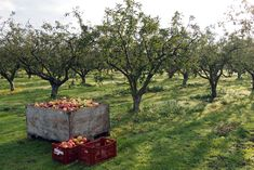 Gardening Growing Apple Trees How Durable Are Air Mattresses Article Body: Air mattresses are a grea Growing Apple Trees, Growing Tree, Buy Trees Online, Orchard Design, Virtual Field Trips, Birds And The Bees, Apple Orchard, Apple Tree Farm, Fruit Trees