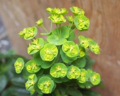 Euphorbia are available for July Scottish weddings. Contact The Stockbridge Flower Company, Edinburgh for more details.