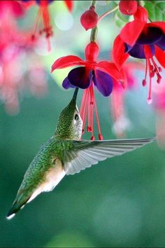 Humming birds Beautiful gorgeous pretty flowers