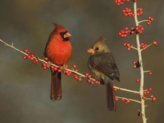 Northern Cardinals Eating Berries Hill Country Texas. Courtesy http://wallpapers5.com (CC). - Pixdaus