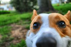 Corgi dog likes to get a little too close.