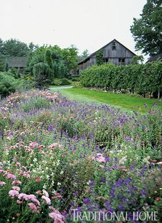 From garden to barn, the apple espalier is on the right, then lawn, leading on the left to a bed of pink hardy mums and purple, pink, and white salvias.
