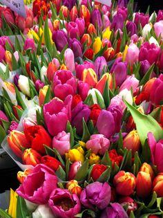 Tulpaner - Tulips
