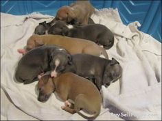 Puppies for sale classifieds ads - Tacoma Puppies For Sale, Cute Puppies, Greyhound Puppies, Italian Greyhound, Greyhounds, Ads, Animals, Animales, Animaux