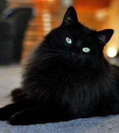 Pretty Cats, Beautiful Cats, Crazy Cat Lady, Crazy Cats, Kittens Cutest, Cats And Kittens, Siamese Cats, White Cats, Black Cats