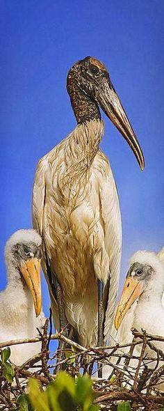 Wood Stork Family