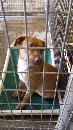 12/03/2014 **SUPER URGENT** Tommy is the ONLY Dog left at Sulphur pound, Oklahoma and needs to be rescued / adopted now or he will be destroyed today. He is a male mix breed (labrador/hound) unaltered, around a year old. He is a good boy and loves people. Please contact Karen Sowell at 580 220-9146 now to save this sweet young dog.