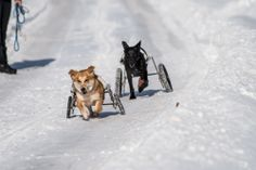 """Two of our paraplegic dogs, Goofy & Program enjoy their first winter at Home for Life. Both dogs came to Home for Life from the Soi Dog Rescue, Phuket Thailand. Photographer Mark Luinenburg was out at Home for Life this Wednesday, January 29, the only """" warm"""" day we had this week, to capture a winter to remember"""