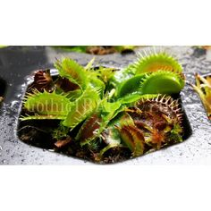 Winter Growing Class 2016  Featuring Typical  #gothictraps #vancouver #bc #canada #plants #carnivoroustagram #carnivorousplant #carnivorousplants #dionaea #muscipula #dionaeamuscipula #venus #flytrap #venusflytrap #vft #typical #narcityvancouver #vancouverofficial #vancitybuzz #iamvancouver #typicalvancouver #vancityfeed #vancityhype #wearevancouver #vancouver_canada #discovervancouver #veryvancouver #vancouverize #604now #myvancouverlife by gothictraps