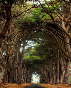 It's been a long time since I've seen the cyprus tree way to the Historic RCA building Point Reyes National Seashore, California Places To Travel, Places To See, Magic Places, Tree Tunnel, Belle Photo, Beautiful Landscapes, Wonders Of The World, Wyoming, Parks