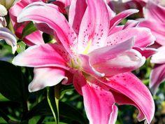 Lilium - Sweet Rosy Oriental Lily