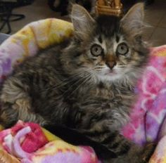 Rabbit is an adoptable Maine Coon mix kitten in Douglasville, GA. Meet Rabbit! She and her siblings were rescued while SNAP 2 IT was trapping a lot of cats for spay/neuter in Gwinnett County. All these kitte...