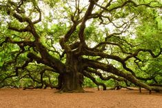 Angel Oak near Charleston, SC - perhaps the oldest live oak tree in North America: app.1500 years old