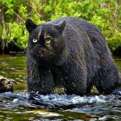Ce créatif imagine un monde absurde où tous les animaux ont le visage d'un chat Photomontage, Snake Design, Black Bear, Panther, Funny Jokes, Cute Animals, Photoshop, Random, Animales
