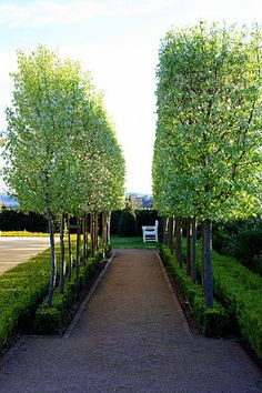 Snow Pear Trees Lovely contrast of foliage against dark branches Architectural Landscape Design Garden Hedges, Garden Trees, Trees To Plant, House Landscape, Landscape Design, Garden Design, Nice Landscape, Modern Landscaping, Backyard Landscaping