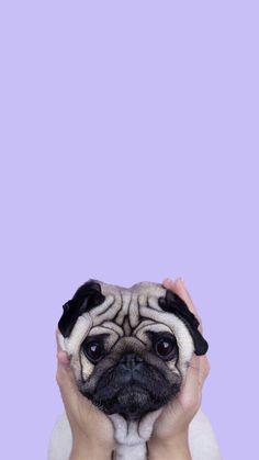Cute-Puppy-Pug-iPhone-Wallpaper-iphoneswallpapers_com. - Cute Puppy Pug iPhone Wallpaper iphoneswallpapers_com. White Wallpaper For Iphone, Cute Dog Wallpaper, Tier Wallpaper, Animal Wallpaper, Seagrass Wallpaper, Paintable Wallpaper, Emoji Wallpaper, Puppy Wallpaper Iphone, Colorful Wallpaper