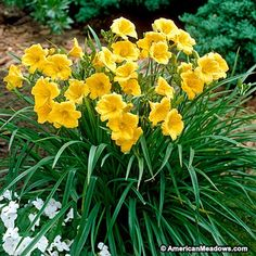 Re-Blooming Daylily Stella D'Oro is great for edging the front of the garden. These compact plants have rich, golden yellow blooms all summer long. Easy to grow and adaptable. (Hemerocallis)