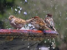 House Sparrow (Passer domesticus) Taking a bath in the fountain in front of St. House Sparrow, Sparrow Bird, All Birds, Little Birds, Bird Pictures, Cool Pictures, St Louis Cathedral, Bird Bath Garden, Underwater Painting
