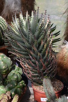 Aloe erinacea | por Pseudolithos