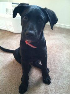 Labradane puppy Duke at 3 months old. Black lab great dane mix This looks just like Shelby! Black Pitbull Puppies, Lab Mix Puppies, Puppy Mix, Black Puppy, Dane Puppies, Chihuahua Mix, Doggies, Great Dane Lab Mix, Great Dane Facts