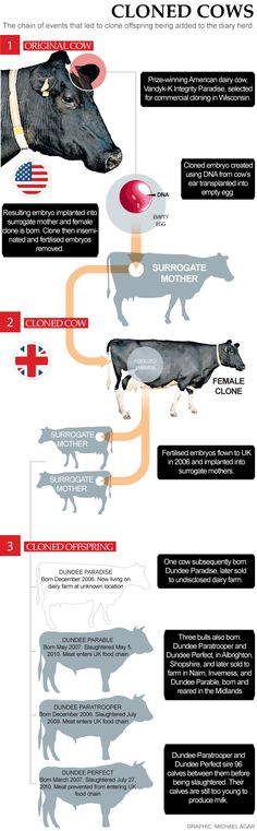 Cloned Cows- neat infographic.