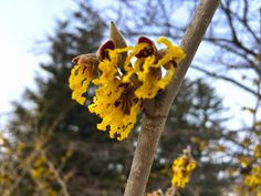 Witch hazel in bloom at the Coastal Maine Botanical Gardens.