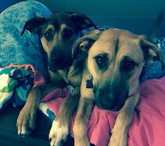Jordan McCormickCT Lost Pets 22 hrs  ·   Two dogs went missing from hoadley creek in GUILFORD, CT this morning around 10 am. They are friendly and not super skittish. Hound/shepherd mixes. Wearing collars and tags. Likely microchipped. If anyone has seen them please contact 2039883546 or 2039881860. Thanks.