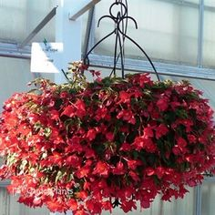 Red beaucoup begonia - Google Search