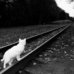 White cat on RR tracks