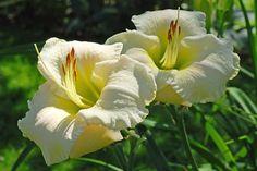 'Whiter Shade' Bara's Blog: Hemerocallis 2015 - welche ist die Schönste in Weiß?