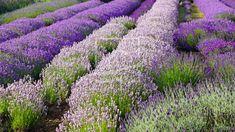 Lavendel Fine Art Prints, Canvas Prints, Run Around, Frame, Plants, Lavender, Canvas, Picture Frame, Photo Canvas Prints