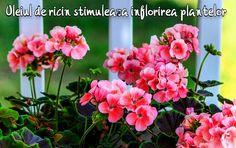 Udați plantele cu ulei de ricin pentru a înflori abundent în martie | LaTAIFAS Avocado, Home And Garden, Gardening, Interiors, Plant, Geraniums, Summer Flowers, Lawn And Garden, Lawyer