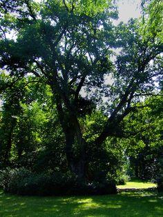 English oak in Szarvas Arboretum, Hungary