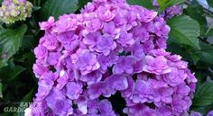 Ever wonder why your hydrangea doesn't bloom well? Use these four simple tips to increase your chances of seeing more beautiful blooms.