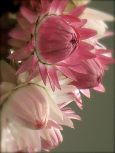 martha's vienna: Pink Strawflowers